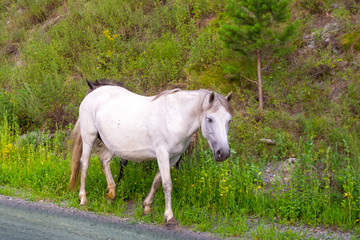 A lone white colored horse without a saddle and a bridle