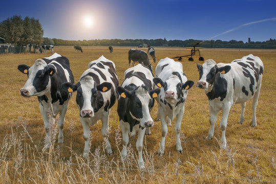 cows in a dry meadow