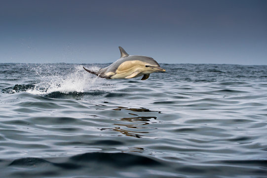 Common dolphin (Delphinus), porpoising, Blasket Islands, Dingle, Kerry, Ireland