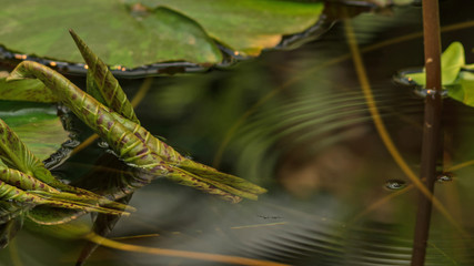 The mystical picture of young leaves of water lilies and drops in the lake
