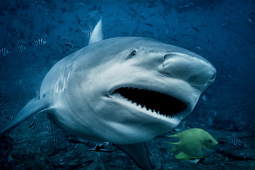 Bull shark (Carcharhinus leucas), swimming towards camera, underwater view, Beqa Lagoon, Beqa, Fiji