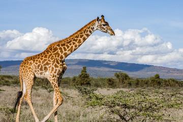 Poster Giraffe Lonely Giraffe in nature