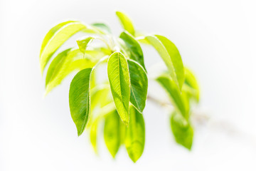 Pear Tree Leaves on Branch Isolated on Light Background