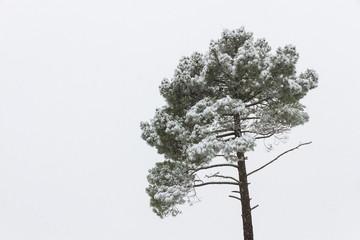 Nevando en la copa de un pino