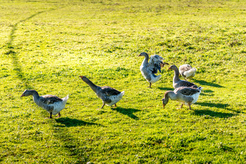 group of geese on a grass field