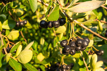 Chokeberry (Aronia melanocarpa) on tree in the orchard