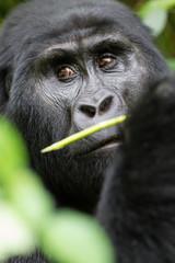 Gorilla di montagna (gorilla beringei beringei) nel parco nazionale di Bwindi in Uganda