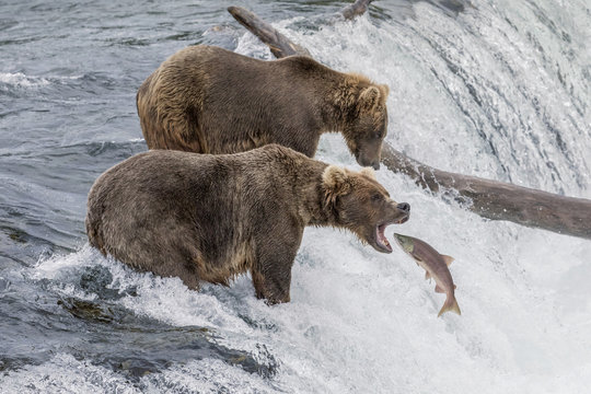 Brown Bear Catching Salmon at Brooks Falls in Alaska