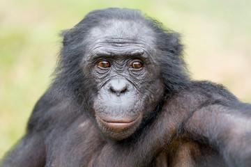 Scimmia primate Bonobo Pan Paniscus nella riserva in Repubblica Democratica del Congo