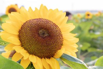 Sunflower at Sakura Furusato Square in Sakura city, Chiba, Japan