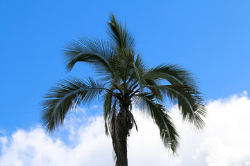 Tropical palm tree with blue sky in background