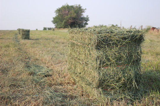 Small Square Alfalfa Hay Bales in Field