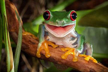 Fotobehang Kikker Red-eyed tree frog sitting on a branch and smiling