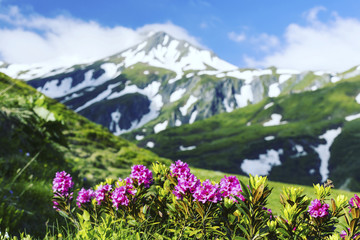 Alpine meadow with potentilla flowers blooming on Whistlers mountain in Jasper National Park Canada Fototapete