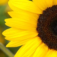 flower of a sunflower ripening in a field
