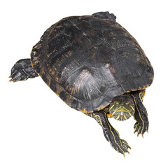 Red eared slider turtle ( Trachemys scripta elegans ) is creeping and raise one's head on white isolated background . Top view
