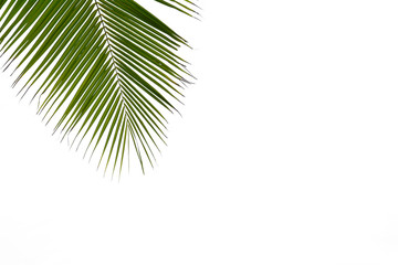 green palm coconut leaf isolated on white background