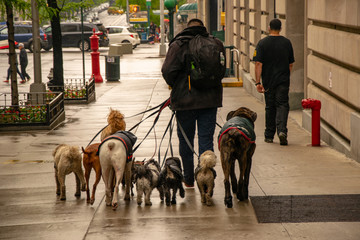 Dog walker in NYC with a pack of dogs