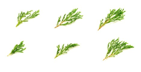 collection of green pine leaves and twig isolated on white background.