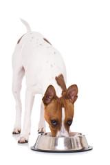 Fressender American Hairless Terrier mit Futterschüssel