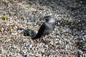 Baby common crow on the ground