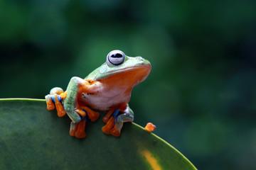 Tree frog, flying frog on green leaves