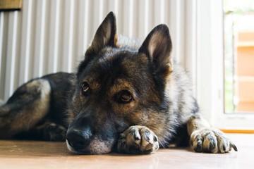 German Shepherd dog. Slovakia