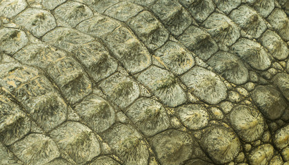 crocodile skin texture close up