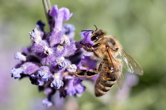 western honey bee (Apis mellifera) on lavender