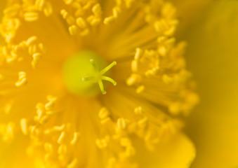 Inside A Hypericum