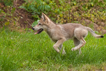 Wall Mural - Grey Wolf (Canis lupus) Pup Runs Left