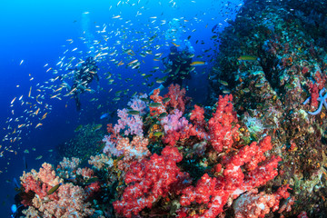 SCUBA divers swimming over a beautiful, colorful tropical coral reef at dawn