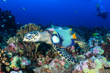 Beautiful Hawksbill Sea Turtle feeding on a colorful tropical coral reef