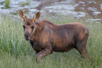 Moose Calf Near Water. The Shiras Moose of Colorado