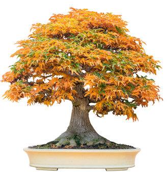 Yellow bonsai maple tree acer palmatum bonsai tree of trident maple in autumn shishigashira maple bonsai