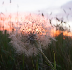 Close Up of a Dried Dandelion Puff Ball with a Orange Sunset in the Background