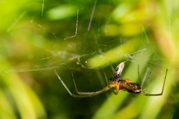 Spider on Web Feeding