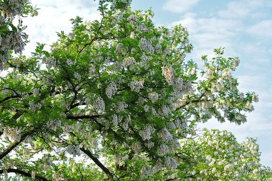 black locust tree in front of blue sky with white clouds