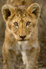 Cuccioli di leone leoncini nel parco nazionale del Serengeti in Tanzania