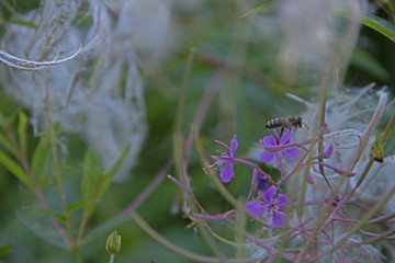 INSECTS - bee on a willow-herb flower