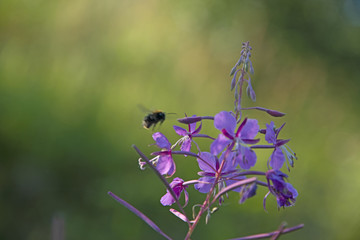 INSECTS - bumblebee over a willow-herb flower