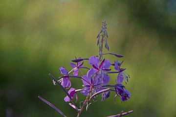 FLOWERS - Ivan tea blossoms