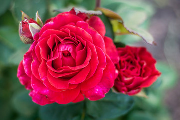 Red rose with buds in the garden close up_