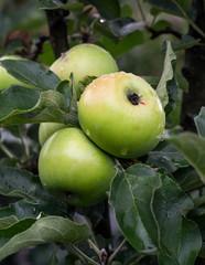 Apple tree apple-fruit crop of apples