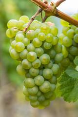 Reife grüne Trauben an der Weinrebe
