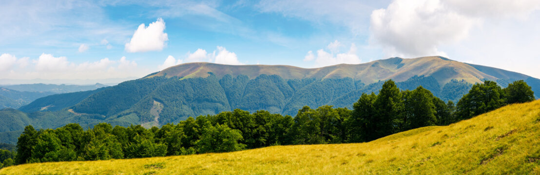 panoramic scene of a summer landscape. beautiful view of a beech forest on a grassy meadow and distant mountain. bright and warm august