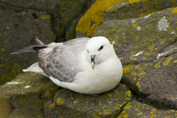 Northern Fulmar Pair (Fulmarus glacialis) at nest site