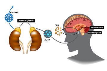 Fototapeta Hypothalamic-pituitary-adrenal (HPA) axis - the stress response system