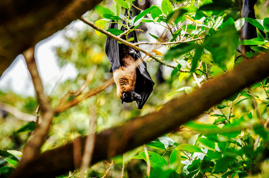 A flying fox on a tree. Sri Lanka.