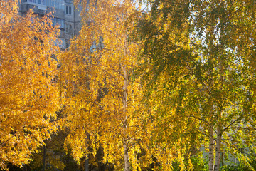 Beautiful golden golden birch foliage in the autumn transparent day